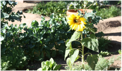 Sunflowers blooming at the gardens at YouthWorks Charter High School